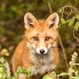 Wild red fox by Dennis Hallberg - Animals Other Mammals ( predator, fox, animal, red fox )