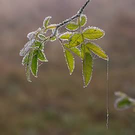 Delicate and Fragile by Chrissie Barrow - Nature Up Close Leaves & Grasses ( water, green, drops, frost, leaves, bokeh, mist )