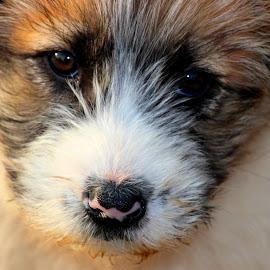 by Carmen Baltianu - Animals - Dogs Portraits