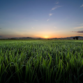 Garden of Paddy by Joon Ming - Landscapes Prairies, Meadows & Fields ( paddy field, kedah, sunset, paddy, malaysia, sunrise )