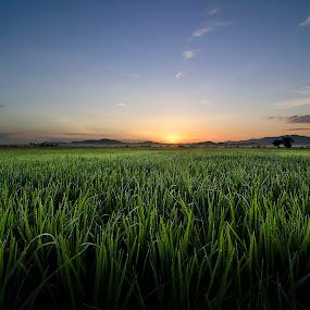 Garden of Paddy by Joon Ming - Landscapes Prairies, Meadows & Fields ( paddy field, kedah, sunset, paddy, malaysia, sunrise )