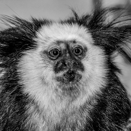Bad hair day by Garry Chisholm - Black & White Animals ( primate, mammal, nature, marmoset, garry chisholm )