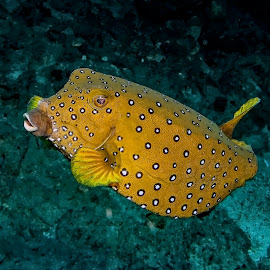 yellow boxfish - adult by Peter Schoeman - Animals Fish ( boxfish, single, fish, ostracion, yellow, cornuta, macro, sealife, nature, spots, isolated, wild, pacific, one animal, ostracion cubicus, aquarium, scuba, natural, diving, small, coral, underwater, colorful, undersea, one, tropical, wildlife, ocean, fin, cute, exotic, photography, swimming, cubicus, life, swim, closeup, animal, water, marine, reef, beautiful, yellow-spotted boxfish, dive, sea, aquatic, background, box, yellow boxfish, saltwater )