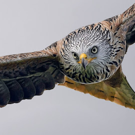 Coming for you by Stephen Crawford - Animals Birds ( staring, black and white, head on, red kite, telephoto, in flight, bif,  )
