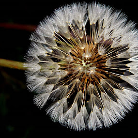 What a Dandy by Darcie Wright - Nature Up Close Flowers - 2011-2013 ( dandelion flower weed soft pretty seeds )