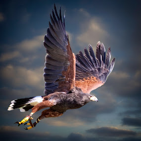 Falconry in action! by Sandy Scott - Animals Birds ( animals, harris hawk, birds, skies, hawk, predators, wildlfie, birds of prey, nature, hawk in flight, falcon, falconry, trained bird, raptors,  )