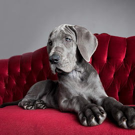 Miles on the sofa by Jen St. Louis - Animals - Dogs Puppies ( studio, puppy, great dane puppy, great dane, portrait, dog,  )