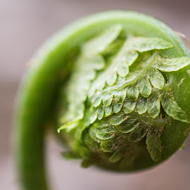 by Chandra Whitfield - Nature Up Close Other plants ( plant, fern, nature, green, unfurling, spring,  )