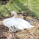 Knobbelzwaan (Mute swan)