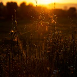 Golden spider by Miro Cindrić - Landscapes Prairies, Meadows & Fields