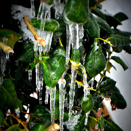 It's Cold by Tammy Price - Nature Up Close Water ( water, ice cicle, cold, green, ice, snow, frozen, outside )