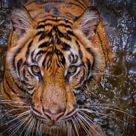 Water Stalker... by Vincent Sinaga - Animals Lions, Tigers & Big Cats ( mammals, tiger, sumatran tiger, animal, stalker )