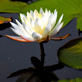 Water Lily Reflections by Bill Martin - Flowers Single Flower ( water, lily, white, flower,  )