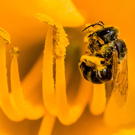 Bee on Yellow Flower by Carl Albro - Animals Insects & Spiders ( bee, insect, yellow flower )