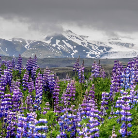 South Iceland Lupines by Jen St. Louis - Landscapes Travel ( south iceland, flowers, mountains, lupins, iceland, lupines, travel, landscape,  )