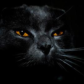cat by Edu Marques - Animals - Cats Portraits ( cat face, kitten, cat, katzen, catsagram, manja, scottish, meong, scottishfold, photooftheday, gato, cats, cat eyes, pet, pets, kitty )