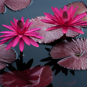 Almost Twins by Jon Kinney - Flowers Single Flower ( magenta flowers, waterlily, lily pads,  )