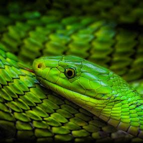 Slyly by Michael Milfeit - Animals Reptiles ( dendroaspis viridis, nebulas, grüne mamba, giftnatter, giftschlange )
