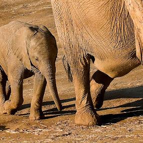 Eléphanteau by Gérard CHATENET - Animals Other Mammals (  )