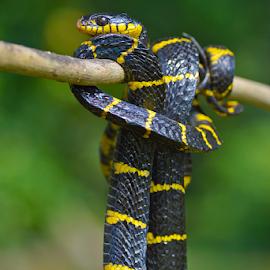 by Sigit Purnomo - Animals Reptiles
