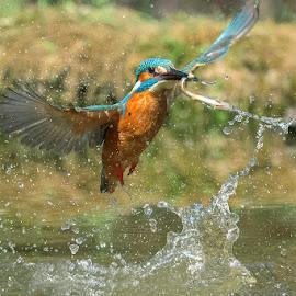 Kingfisher by Albergamo Paolo - Animals Birds ( oasi paolo albergamo, martin  pescatore, birds, animal )