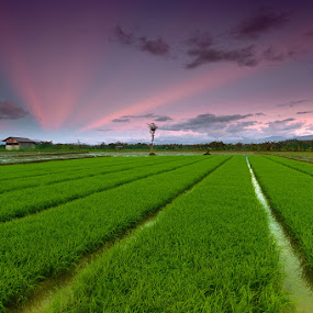 Rice fields by Ledon Jasper Samoranos - Landscapes Prairies, Meadows & Fields