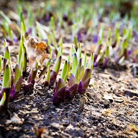 Here comes Spring by David Kreutzer - Nature Up Close Gardens & Produce ( spring flowers, flower garden, purple, green, dirt, flower bud, flowers, hosta, garden, spring, springtime, flower )