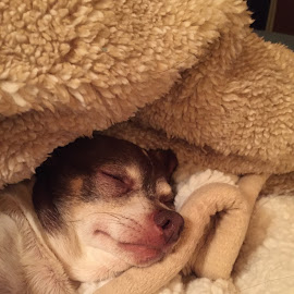 Chuck Sleeping  by Teresa Flowers Wolford - Instagram & Mobile iPhone ( adopted, peaceful, chihuahua (smooth coat), precious, rescue, sleepy, adorable, sleeping, cute boy, cute dog )