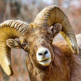 Bighorn by Bruce Newman - Animals Other Mammals ( dramatic, nature up close, wildlife, bighorn, portrait,  )
