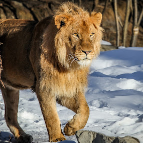 Lion by Nigel Bullers - Animals Lions, Tigers & Big Cats ( big cat, lion, wild, cat, zoo, animal,  )