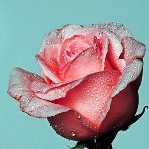Rosa blanca con gotas.jpg