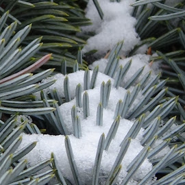 Snow on pine bough by Larry Rudolph - Nature Up Close Trees & Bushes