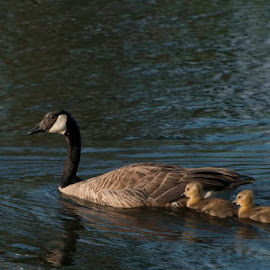 Mother Goose by Jim-Sue Mehrwein - Novices Only Wildlife ( oregon, mother, baby geese, pond, goose )