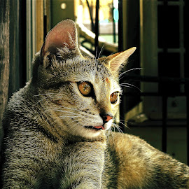 by Abhijit Roy - Animals - Cats Portraits ( potrait, cat, cat portrait, nikon d, novice only, animal )
