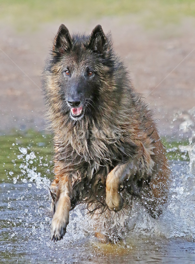 Fun at the beach by Mia Ikonen - Animals - Dogs Playing ( water, belgian shepherd tervueren, finland, fun, running )