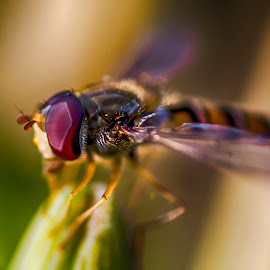 Bee Macro by Davey T - Animals Insects & Spiders ( macro, bee, insect, close up )
