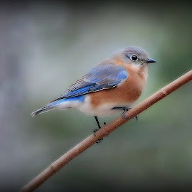 SOFT AND SWEET by Dana Johnson - Animals Birds ( bird, bluebird, single, lady, soft, animal )