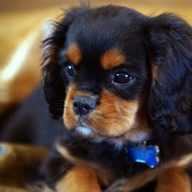 Bentley by Steve Parsons - Animals - Dogs Portraits ( pet, puppy, cavalier king charles spaniel, dog, cute, portrait )
