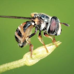 Hinggap by Irwan Kairuman - Animals Insects & Spiders ( macro )
