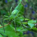 The green huntsman spider