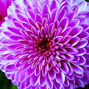 Bursting pink by Sue Delia - Flowers Single Flower ( purple, pink, flower,  )