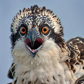 Young Osprey by Don Holland - Animals Birds ( upper, lake, reelfoot, young, osprey )