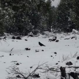 Snow Raven  by Torrie Allen - Novices Only Wildlife