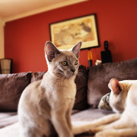 Dixon Burmese by Mike Rodgers - Animals - Cats Kittens