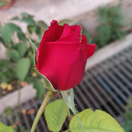 Red Rose by Vivek Sharma - Instagram & Mobile Android ( vivekclix, mobilography, rose, mobile photos, vivek, red rose, flower )