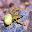 Flower Crab Spider