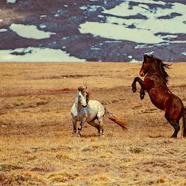 Tendering by Andrija Vrcan - Animals Horses ( horses, tendering, wild horses )