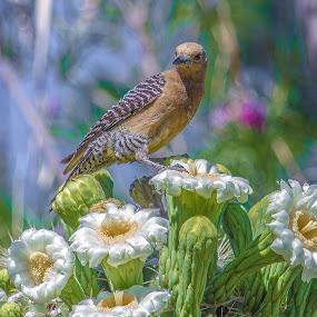 Gila Woodpecker by Lawrence Busch - Animals Birds ( pwctaggedbirds )