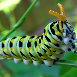Caterpillar Looking for Food by Mike Vaughn - Animals Insects & Spiders ( caterpillar, insect )
