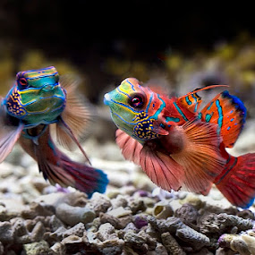 couple mandarin fish  by Arif Otto - Animals Fish